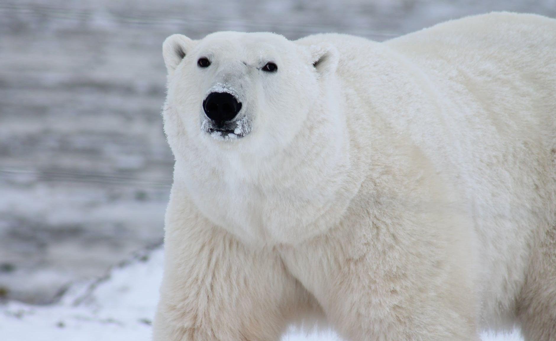 Polar bear arctic wildlife snow 53425