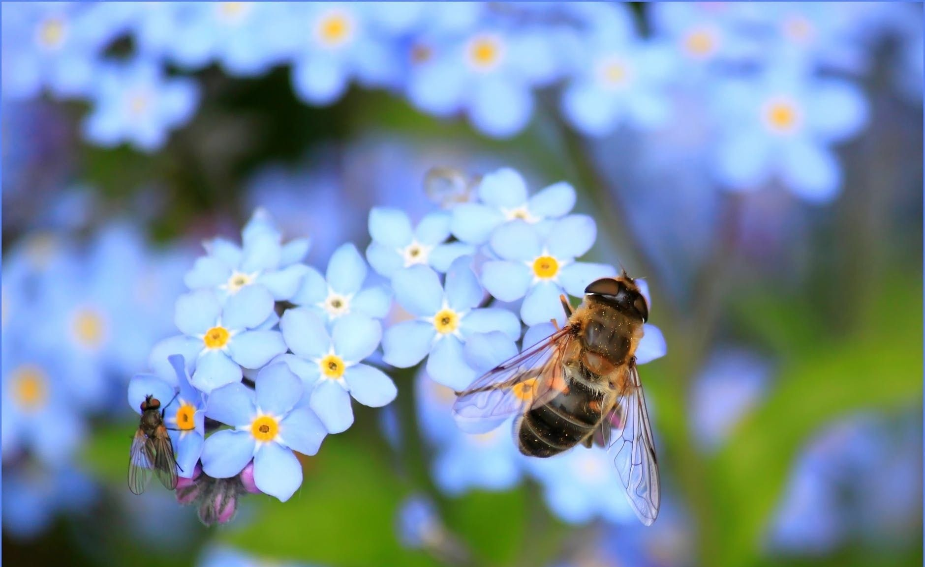 Forget me not hoverfly fly flower 60579